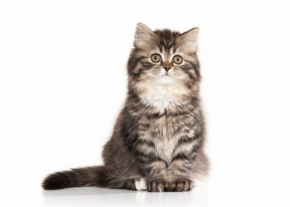 Cat. Scottish highland kitten with white on white background